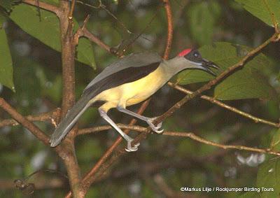 Grey-necked Rockfowl, Korup National Park Cameroon by Markus Lilje
