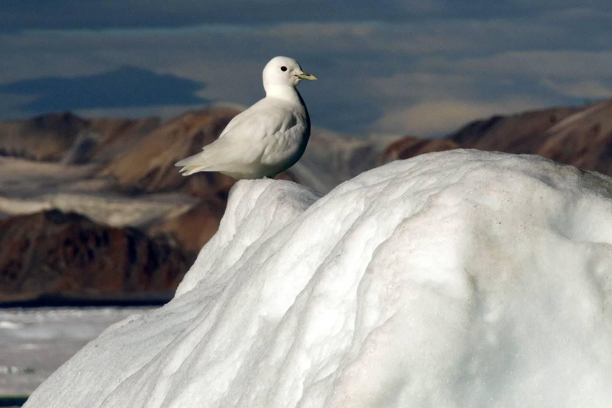 Ivory Gull by Boris Wise
