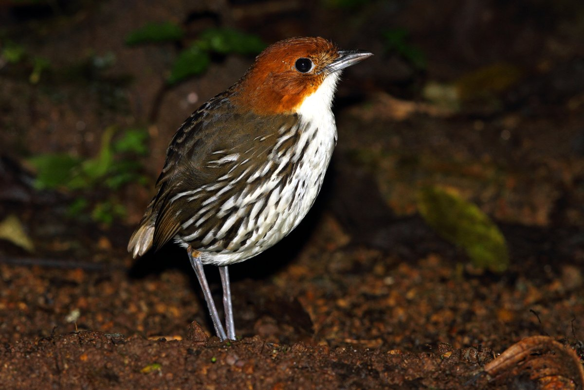 Chestnut-crowned Antpitta photographed at Rio Blanco by Adam Riley