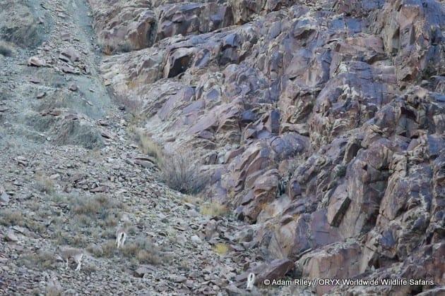 Snow Leopard hunt