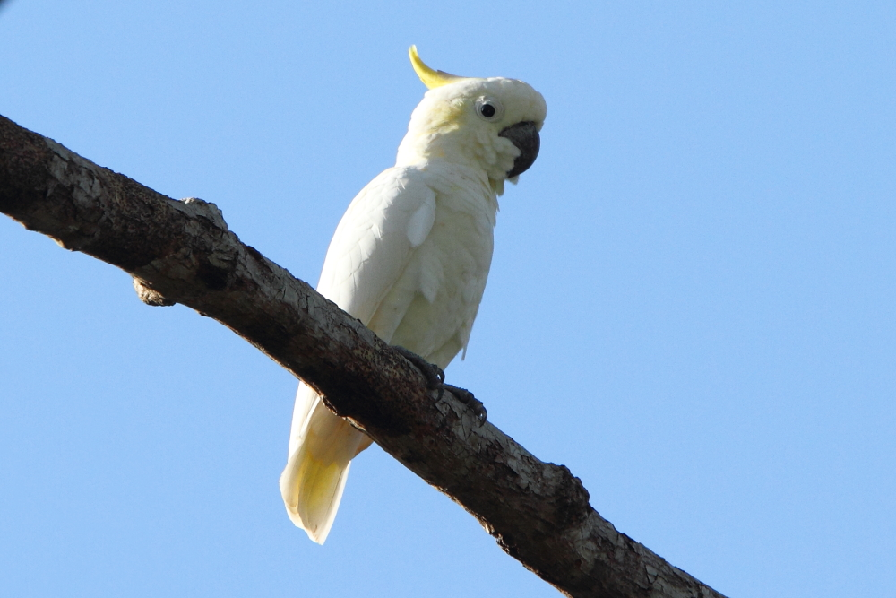 The Critically Endangered Yellow-crested Cockatoo is Komodo's key bird and is nowhere as easily found as on this island. Cockatoo's belong to a bird family with strong Australasian
