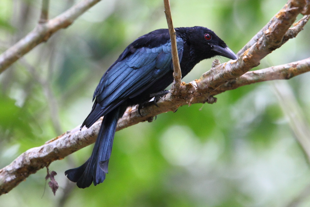 The Wallacean Drongo is an attractive endemic to Wallacea and commonly encountered on Komodo Island. Image by Adam Riley