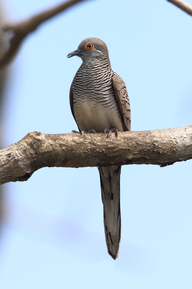 The lovely Barred Dove is an Indonesian endemic occurring on Komodo Island. Image by Adam