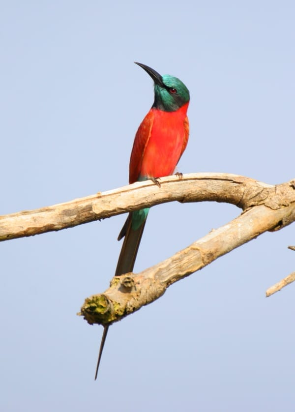 The stunning Northern Carmine Bee-eater is a rare visitor to Tarangire