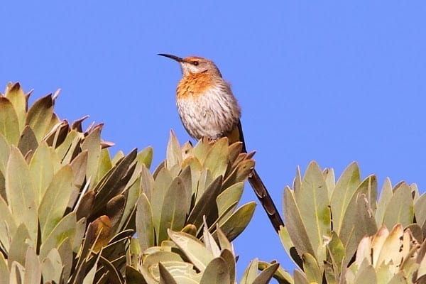 4. Sugarbird-Gurneys-Sani-Pass-SA-AR-6