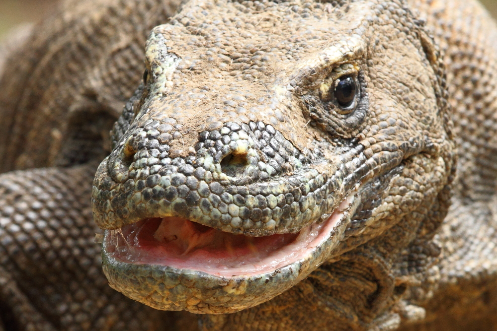 The Komodo Dragon's saliva is both copious and remarkably virulent. Image by Adam Riley