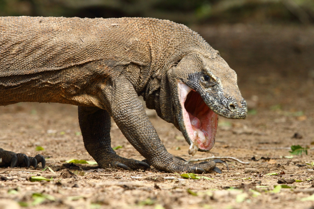 A Komodo Dragon in the process of regurgitating unwanted portions of its previous meal, this is commonly practiced by these animals. Image by Adam Riley