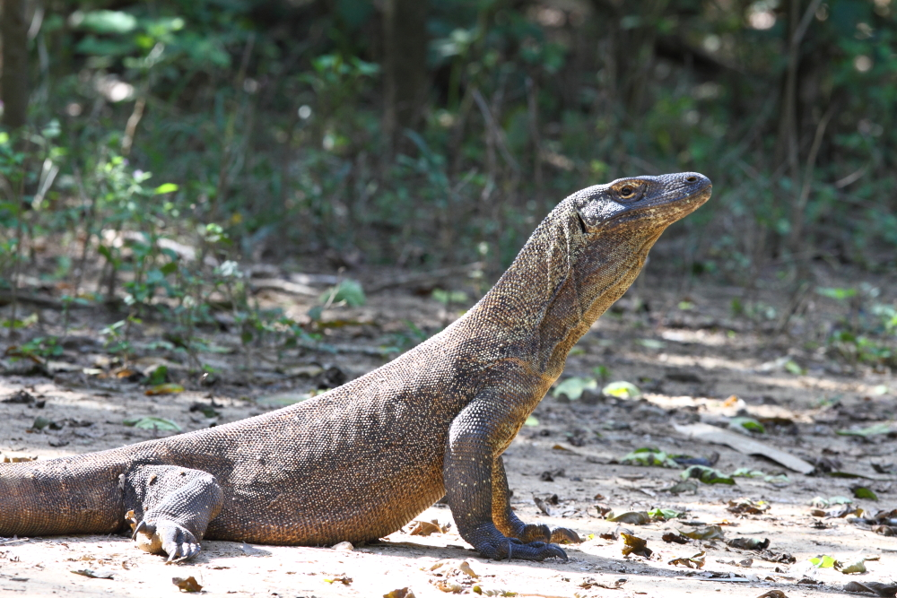A younger Komodo Dragon – these smaller individuals can be very aggressive and are extremely fast moving, essential for catching prey as well as avoiding their cannibalistic elders.