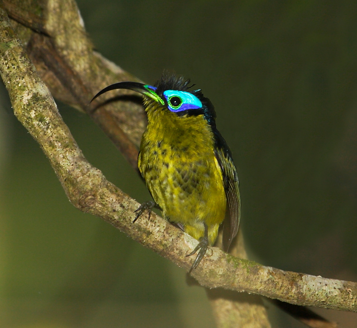Common Sunbird-Asity is one of 4 very bizarre birds in this endemic Malagasy bird family (sometimes considered a sub-family of Broadbills)
