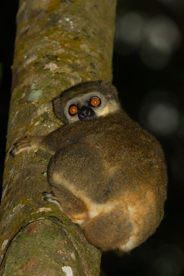 The Sambirano Avahi or Woolly Lemur is a little known nocturnal species that occurs in the forests around Lake Bemanevika. Photo by Adam Riley