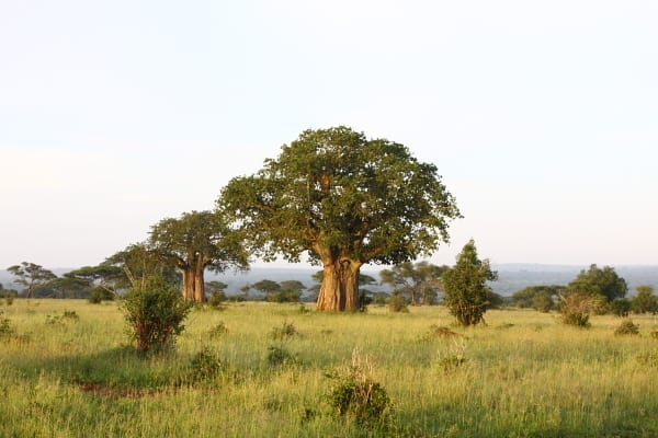 Typical Boabab-dominated Tarangire National Park woodland scenery