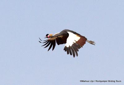 Black Crowned-Crane by Markus Lilje