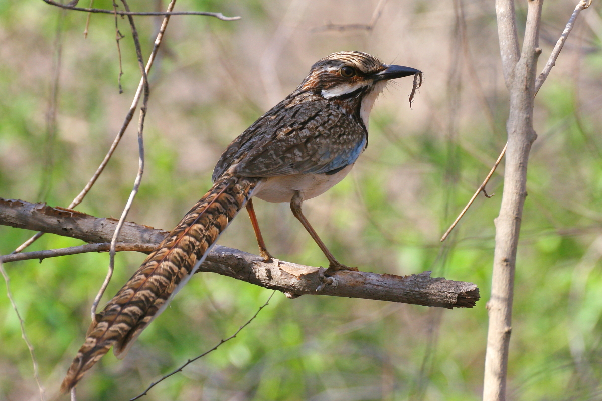 Ground-rollers are also endemic to Madagascar, the Long-tailed occurs in habitat known as the Spiny Desert