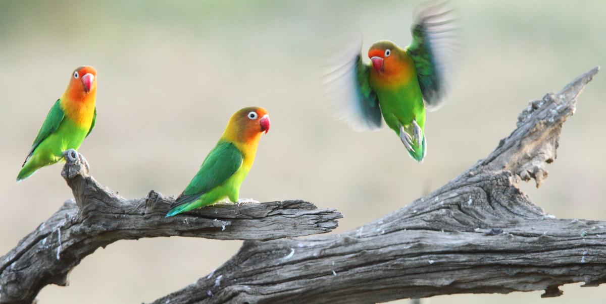 Fischer's Lovebirds in the Serengeti, Tanzania