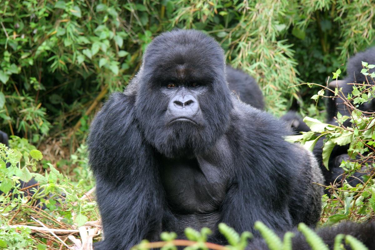 Mountain Gorillas are best observed in Uganda or Rwanda