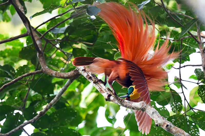 bird-of-paradise-raggiana-0031