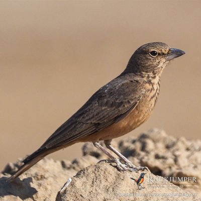 Rufous-tailed Lark by Stephan Lorenz