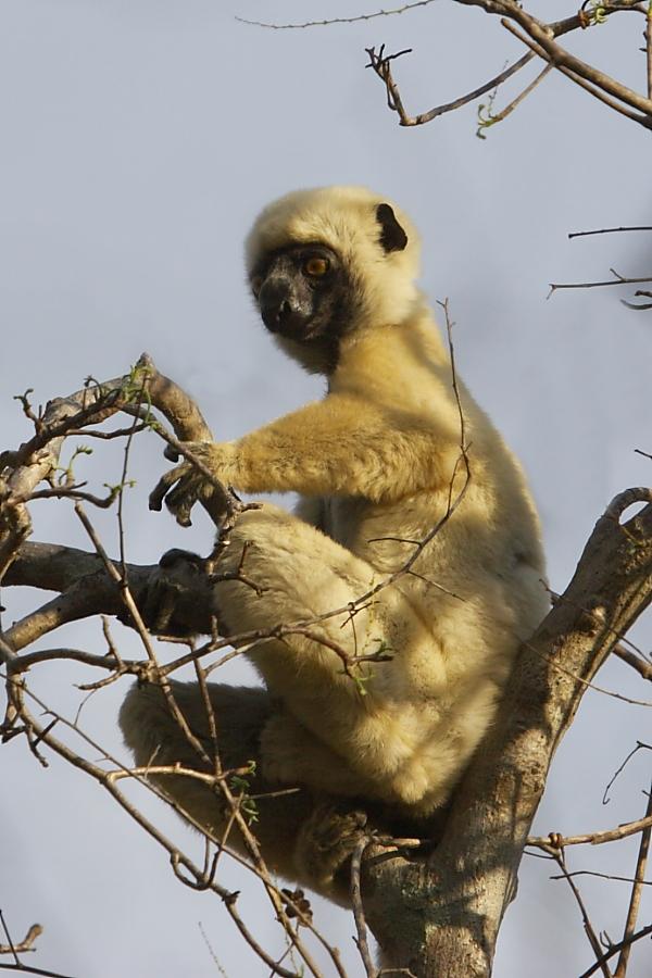 Von der Decken's Sifaka is a threatened species of lemur found in the remaining forests around Lake Kinkony. Photo by Adam Riley