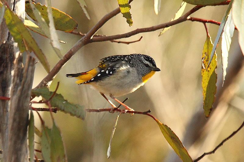 spotted-pardalote-rich-l-21