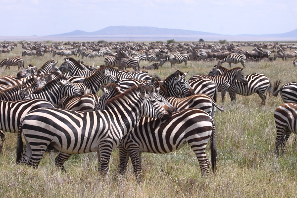 A lesser known fact is that 250,000 Plains Zebra and thousands of other game also join the wildebeest on their migration