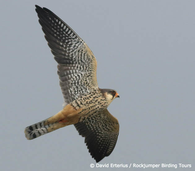 amur falcon migration